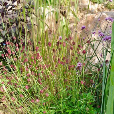 Cactus Direct 2101 garden - sanguisorba